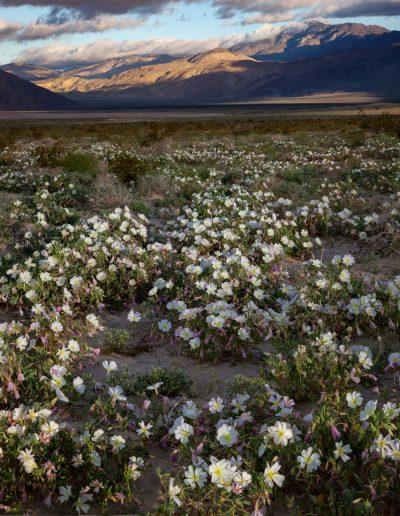 Desert Primrose